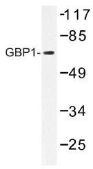 AP01376PU-N - GTP-binding protein 1 / GBP1