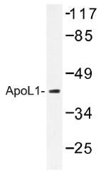AP01382PU-N - Apolipoprotein L1 (Apo L1)