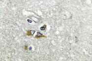 AP01382PU-N - Apolipoprotein L1 / APOL1