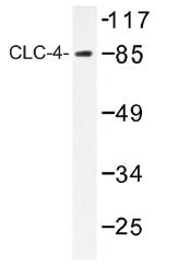 AP01391PU-N - CLCN4