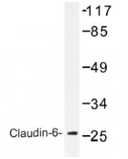 AP01394PU-N - Claudin-6 / CLDN6