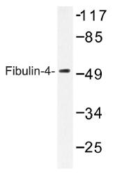 AP01398PU-N - Fibulin-4