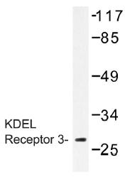 AP01401PU-N - KDEL Receptor 3 / KDELR3