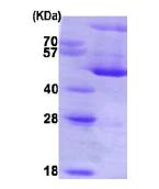 AR09112PU-L - SERPINH1 / HSP47