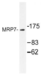 AP01410PU-N - ABCC10 /  MRP7