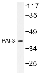 AP01414PU-N - SERPINA5
