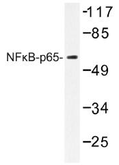 AP01419PU-N - RELA / NF-kB p65
