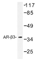 AP01420PU-N - Beta-3 adrenergic receptor