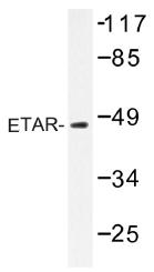 AP01426PU-N - Endothelin A receptor