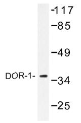 AP01427PU-N - Delta-type opioid receptor