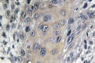 AP01468PU-N - Coatomer subunit zeta-1