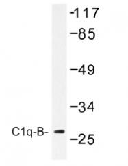 AP01469PU-N - C1q B subunit