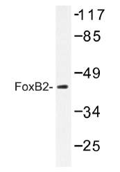 AP01472PU-N - FOXB2