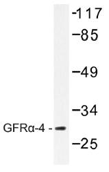 AP01475PU-N - GFRA4 / GDNFR-alpha 4