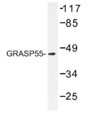 AP01476PU-N - GORASP2 / GOLPH6