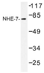 AP01502PU-N - SLC9A7 / NHE7