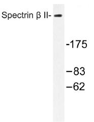 AP01504PU-N - Spectrin beta II  / SPTBN1
