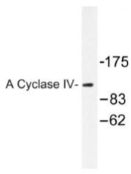 AP01506PU-N - Adenylate cyclase type 4