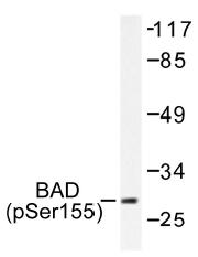 AP01535PU-N - Bcl-2-like 8