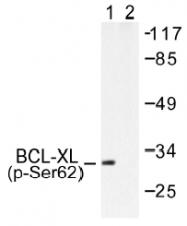 AP01538PU-N - Bcl-2-like 1