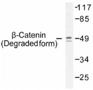 AP01543PU-N - Catenin beta-1