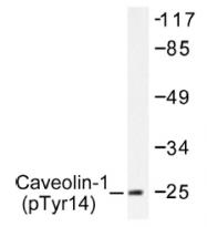 AP01544PU-N - Caveolin-1