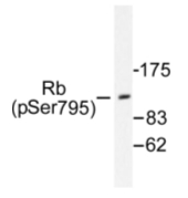 AP01676PU-N - Retinoblastoma-associated protein / RB1
