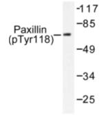 AP01665PU-N - Paxillin /  PXN