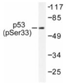 AP01658PU-N - TP53 / p53