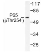 AP01651PU-N - RELA / NF-kB p65