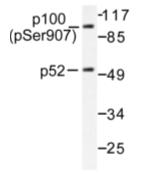 AP01646PU-N - NF-kB p105 / p50