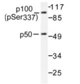 AP01644PU-N - NF-kB p105 / p50