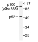 AP01641PU-N - NFKB2 / NF-kappa-B p100/p52