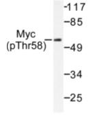 AP01640PU-N - c-Myc