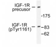 AP01610PU-N - CD221 / IGF1R