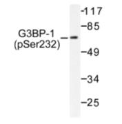 AP01589PU-N - G3BP1 / G3BP