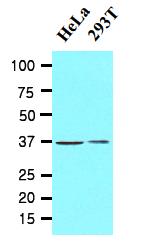 AM09050PU-N - Laforin