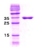 SA6028 - DNAJ / HSP40