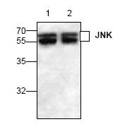 AP00339PU-N - MAPK8 / JNK1