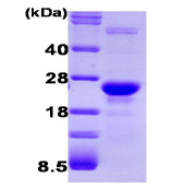 AR09139PU-L - Glyoxalase I / GLO1