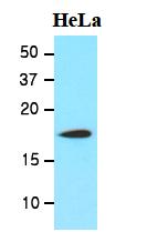 AM09056PU-N - Cofilin-1