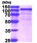 AR09147PU-N - Endoplasmin / HSP90B1 / TRA1