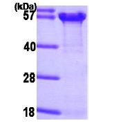 AR09151PU-N - Osteopontin / SPP1