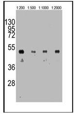 AM11008SU-N - HA Epitope Tag (YPYDVPDYA)