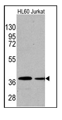 AM11015SU-N - Actin beta / ACTB
