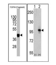 AM11075SU-N - CD334 / FGFR4