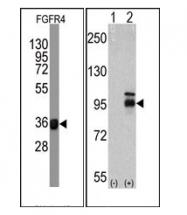 AM11076PU-N - CD334 / FGFR4