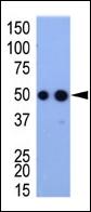 AP11018PU-N - HA Epitope Tag (YPYDVPDYA)