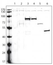 AP11020PU-N - Pk (V5) Epitope Tag (GKPIPNPLLGLDST)
