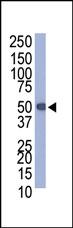 AP11023PU-N - Protein C tag (EDQVDPRLIDGK)